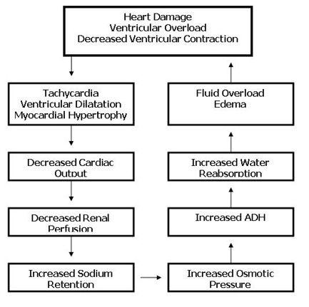 Pathophysiology of Congestive Heart Failure (CHF)