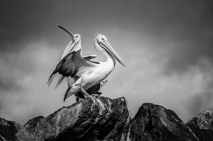 The Pelicans Photograph by Racheal Christian - To buy visit http://racheal-christian.pixels.com/featured/2-the-pelicans-racheal-christian.html