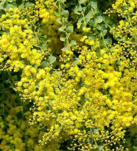 Acacia pravissima for sale and mail order - (Oven's wattle) AGM Family Mimosaceae Originating from Australia A curious but very beautiful and graceful wattle, fast growing to a large shrub or small tree, with slender, drooping branches bearing small, dark green triangular leaves and a profusion of scented, pea-sized, golden, bottle-brush-like flowers in late winter/early spring.