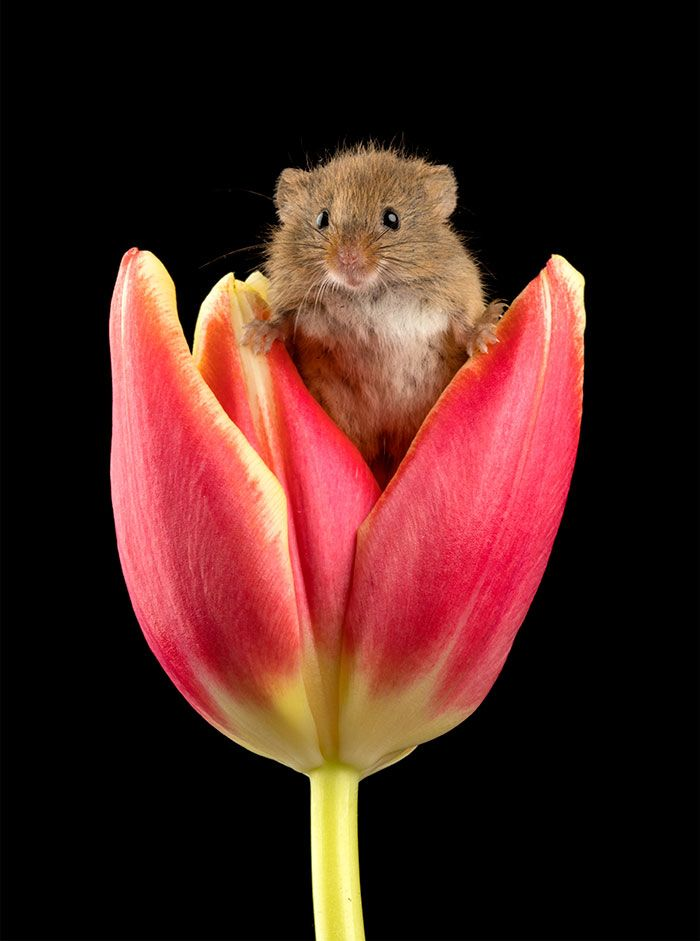 1dbafaac327 Photographer Tiptoes Through The Tulips To Photograph Mice (20 Pics) |  meeses | Harvest mouse, Animals, Cute animals