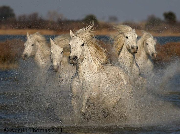 Camargue Horses running through shallow water in the Camargue region of southern France