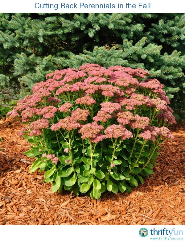 This is a guide about cutting back perennials in the fall. Deciding whether to cut or not to cut back your perennials in the fall can be perplexing. There are pros and cons to either option.