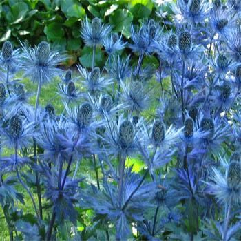 Sea Holly/Eryngium - Sea Holly is a striking plant just made for that hot, sun baked spot. Needing full sun, very drought tolerant, and thri...