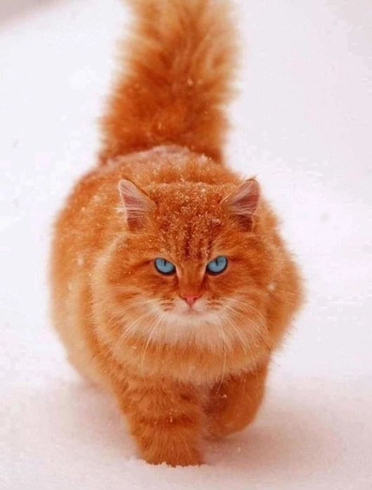 Wow, I love this fluffy ginger cat walking through the snow. Stunning blue / green eyes!