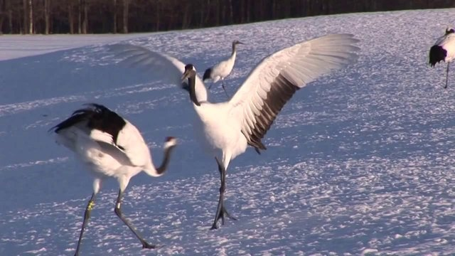 The most beautiful and amazing ballet exists!    Fascinating birds interpret The Nutcracker Suite performing with innate   grace in suggestive dance steps of the famous opera of Tchaikovky.  Enjoy!     Credits for this great video to: Ruedi  Priska Abbhl - www.naturemovie.ch  Thanks and gratitude!  :)