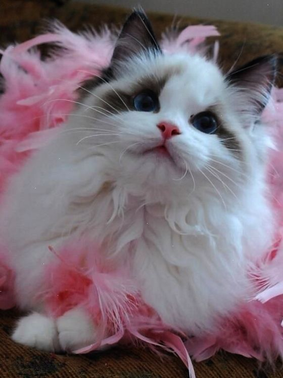 Stunning Beautiful Cats For Sale In Lahore Nice Kittens Cutest Cute Cats