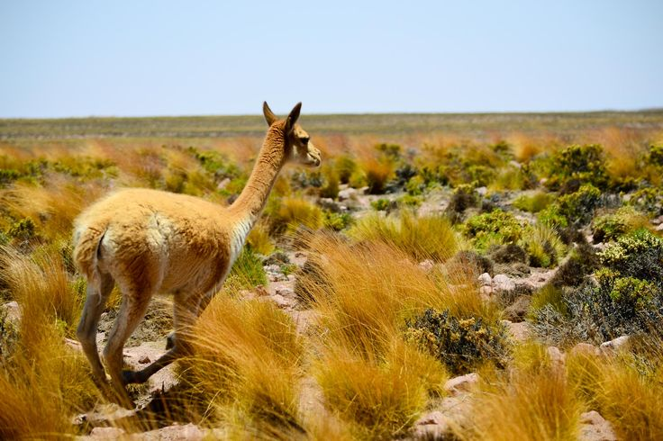 Vicuña Altiplano Norte Chile by Jonathan Molina on 500px