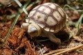I want a Baby Sulcata Tortoise...small enough for my apartment now, big enough for my yard someday