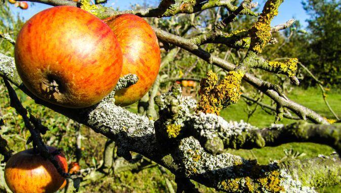 Prezența lichenilor pe scoarța pomilor fructiferi din livadă nu ar trebui să ne sperie, spune inginerul horticultor Marian Stoian de la Stațiunea didactică Belciugatele - Ferma Moara Domnească.