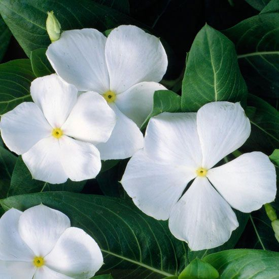 Annual vinca has a decidedly tropical look with its saucer-shaped white flowers in saturated shades of red, rose, pink, and purple. The white varieties stand out best, though. Plant Name: Catharanthus roseus Growing Conditions: Full sun and well-drained soil Size: to 18 inches tall and wide Zones: 10, but usually grown as an annual Plant it with: Grow annual vinca as an upright contrast to trailing calibrachoa or mini petunias./