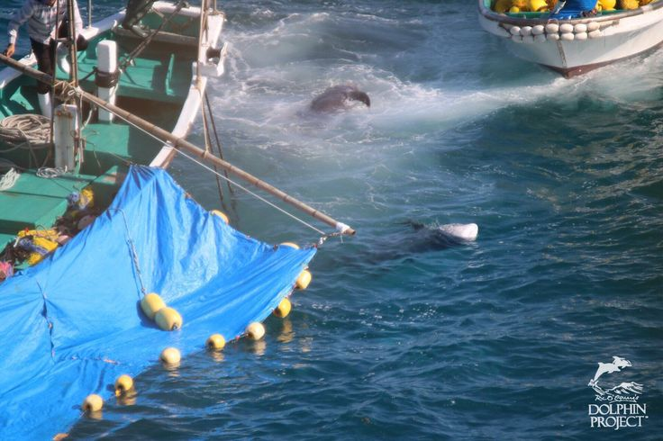 (306) Twitter Taiji: The body of two Risso's dolphins float lifelessly as they are transferred to the butcher house.  11.05am 2016.11.22