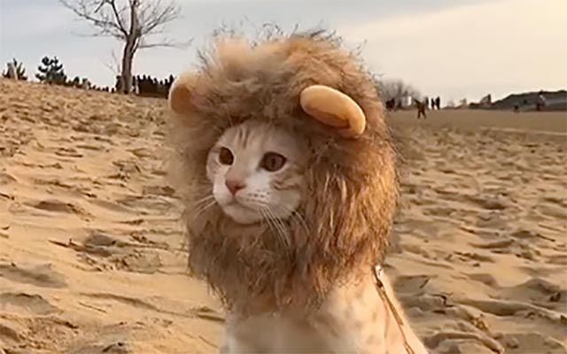 ニャンコに『たてがみ』をつけたら、百獣の王になるのか カワイイだけだった!  – grape [グレイプ]