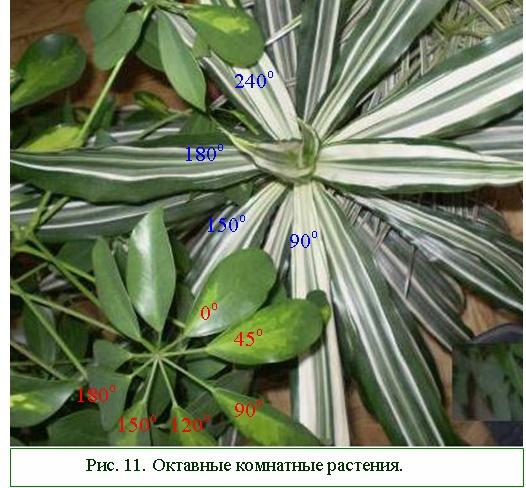 Октавные комнатные растения