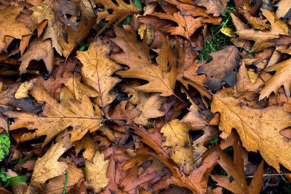 Oak Leaves Acidity Tannins And Their Use As Mulch And In Compost Leaf Mulch Leaf Compost Oak Leaves