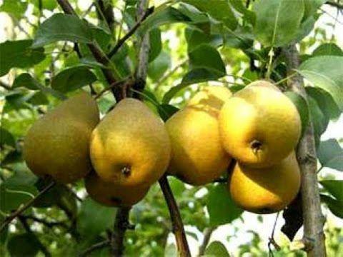 Где должна расти груша, чтобы на ней поспевали сладкие и сочные плоды
