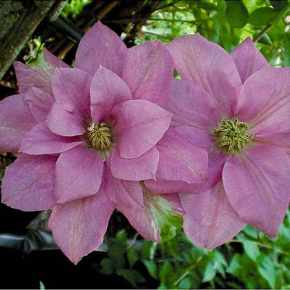 1000 images about clematis on pinterest clematis vine clematis montana and clematis plants. Black Bedroom Furniture Sets. Home Design Ideas