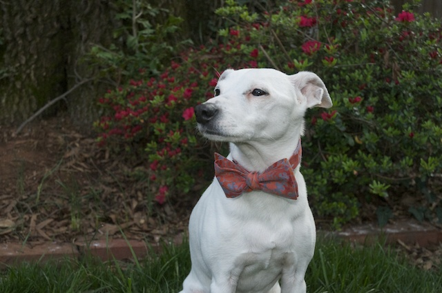 "Jack ""The Dog"" wearing one of our spring rayon bow ties."