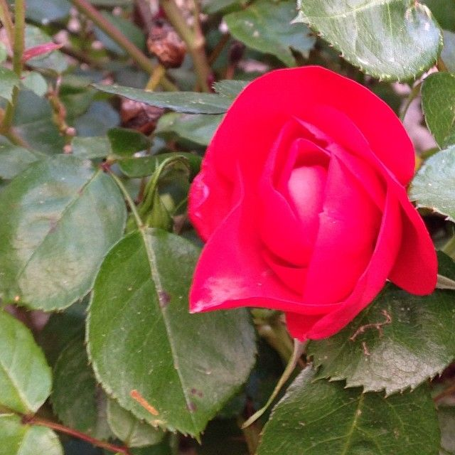 #ShareIG #rosa #beautiful #botanica #elba #elba200 #elbaisland #essenzadiunisola #flowers #instatour #isoladelba #igerstoscana #igertoscana #islandofelba #infinitoamore #instatouritalia #mynapoleon #madeintuscany #napoleone200 #napoleon #napoleone #napoleon200 #nature #natura #rionellelba #seayouinelba #tuscanygram #tuscany #visitelba