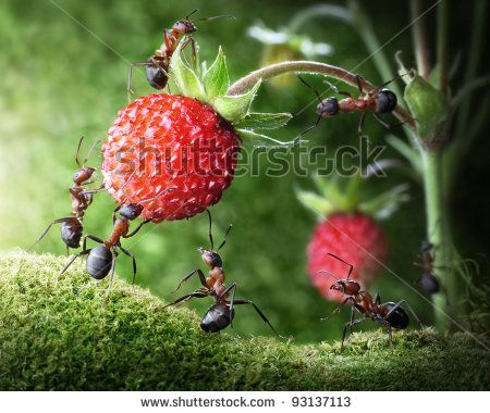 team of ants gathering wild strawberry, agriculture teamwork. focused on nearest workers - stock photo