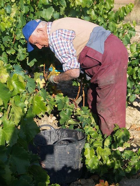 Vendimia en la Rioja. ¿Quieres asistir a la vendimia? Más información a través de info@gourmety.com