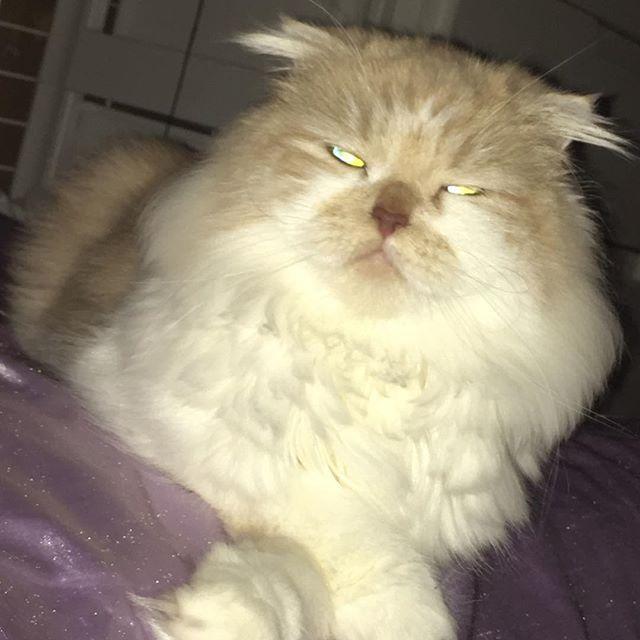 今日も1日お疲れ様👏 ハルク🐱は珍しくお出迎えもなく爆睡😪 . . . . . . #愛猫#激愛#スコティッシュ#スコティッシュ垂れ耳 #スコティッシュフォールド#scottishfold#ねこ部 #スコ座り#猫のいる暮らし#猫好き#にゃんこ#にゃんこ好き #ねこすたぐらむ#にゃんすたぐらむ#にゃんだふるらいふ #cat#instagood#instadiary#instalove