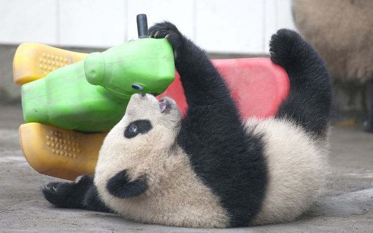 A clumsy panda cub takes a tumble whilst trying to ride a rocking horse at the Bifengxia Panda Reserve in Chengdu, China Picture: David Jenkins/Caters News
