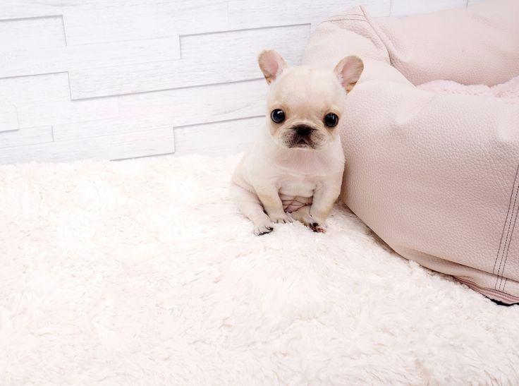 "Adorable Amazing Mini Frenchie Bulldog Girl ""Paris"" ~ Amazing Micro French Bulldog Available!"
