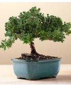 proflowers bonsai tree
