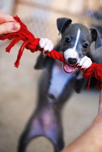 Adorable Italian Greyhound