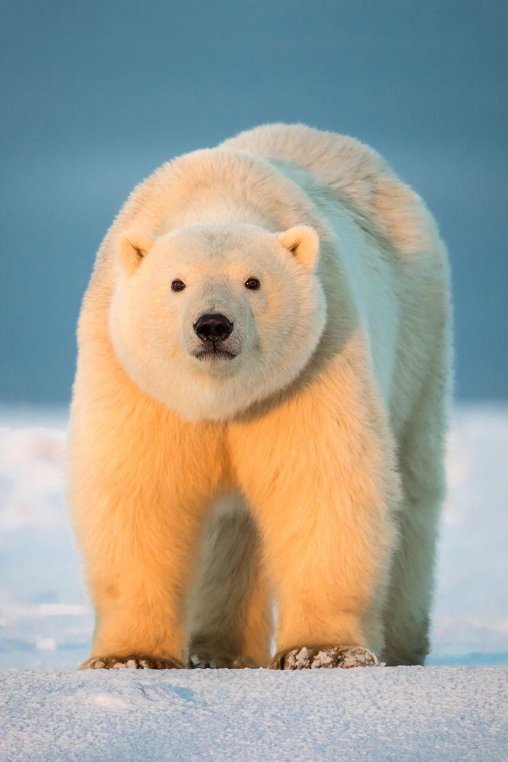Polar Bear Cub - A polar bear cub in early morning light, Arctic National Wildlife Refuge, Alaska, USA.