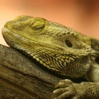 Bearded dragon care sheet and information on pet lizard bearded dragons cage habitat, tank setup, food feeding, health, breeding, bearded dragon pet care tips.