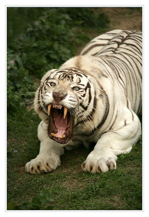 Yikes! Now that's a fierce tiger! Gorgeous, majestic, and wildly powerful.