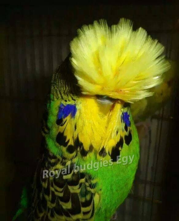 Royal English Budgie My budgie looks like this.  We call him Rock Star Key Lime