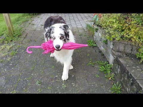 Dog Umbrella Dance    ViralHog - YouTube