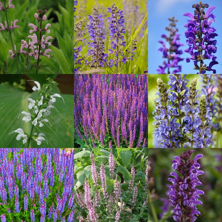 Plant a faux water feature in your garden with our Blue Pool Meadow Sage Mix of European blue & purple sages from FBTS Online Plant Nursery.