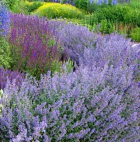 Cat Mint border edging idea for West Side, in front of juniper hedge. These ever- blooming plants are drought tolerant.