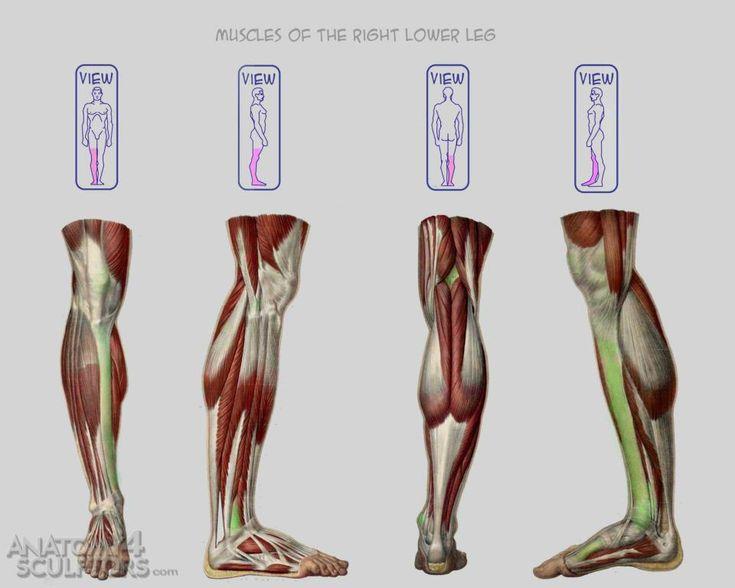 109 best leg anatomy images on pinterest, Human Body