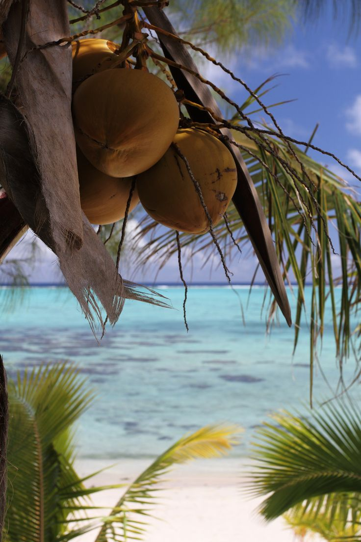 Coconut Palms Near the Lagoon | Tamanu Beach Resort, Aitutaki, Cook Islands