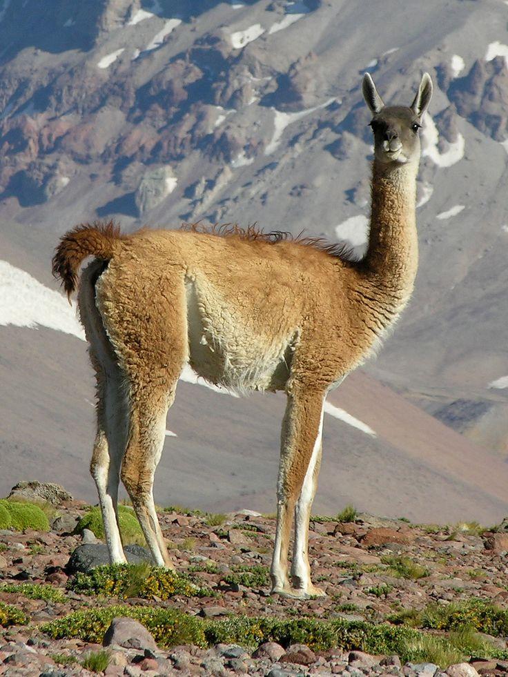 El guanaco (del quechua wanaku) (Lama guanicoe) es una especie de mamífero artiodáctilo de la familia Camelidae propia de América del Sur. Es un animal silvestre, elegante, de huesos finos, con una altura aproximada de 1,60 metros y cerca de 91 kilogramos de peso. Los guanacos jóvenes son llamados Chulengos.
