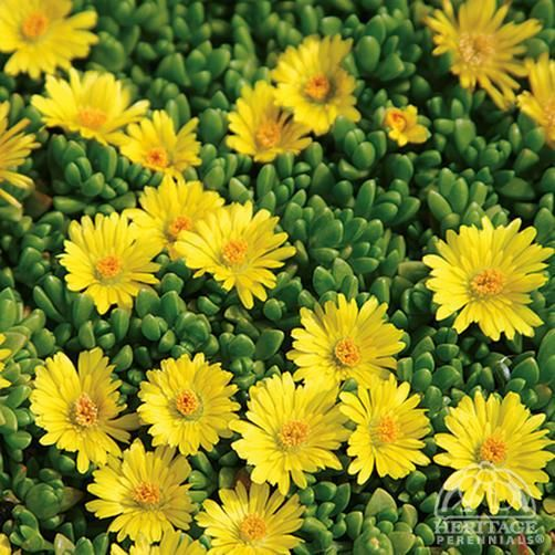 Delosperma nubigenum  yellow ice plant  zone 3-9  full sun                                                     Yellow Ice Plant