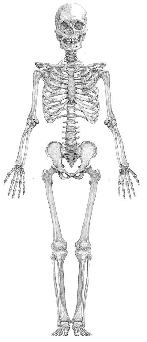 Human skeleton diagram by Studio Corvo