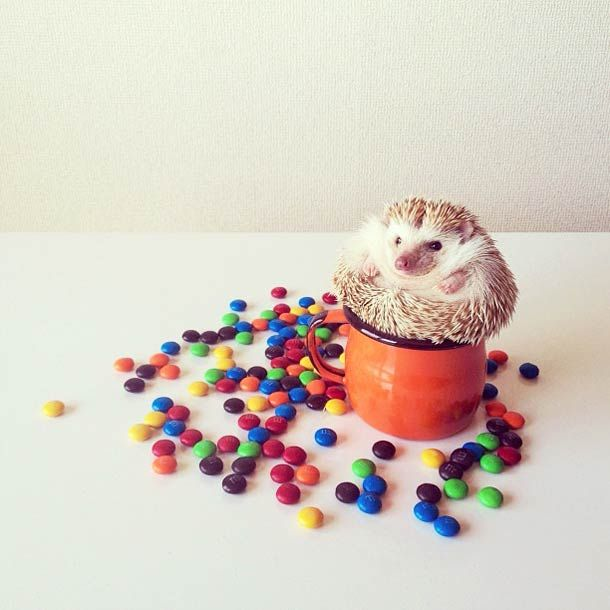 Best Hedgehogs Images On Pinterest Cow Funny Phrases - Darcy cutest hedgehog ever