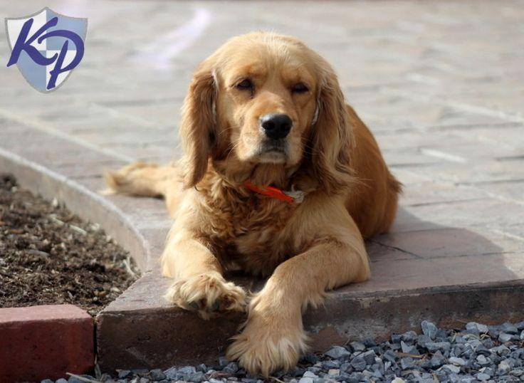 buy a golden cocker retriever 2015 Keystone Puppies