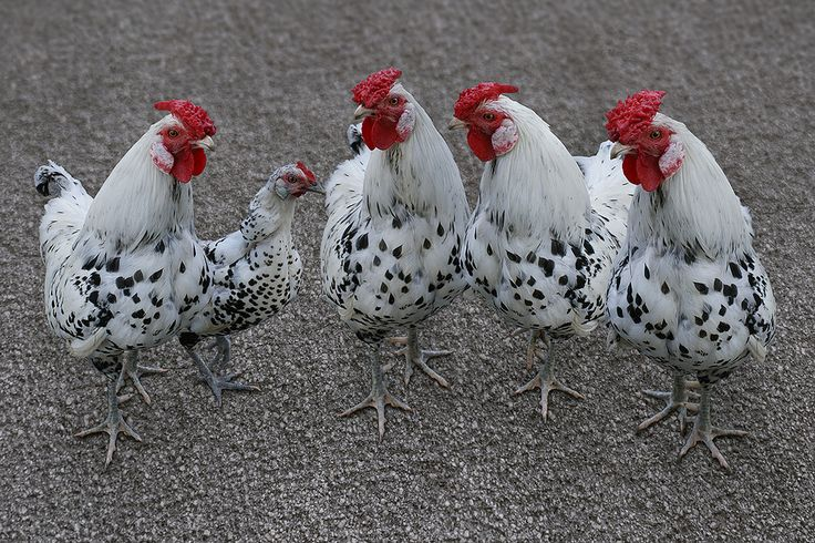 https://flic.kr/p/jESed4   Little chicken gang   Little Yutza and fellows