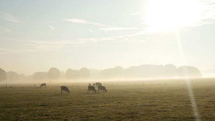 #cows #morningsun