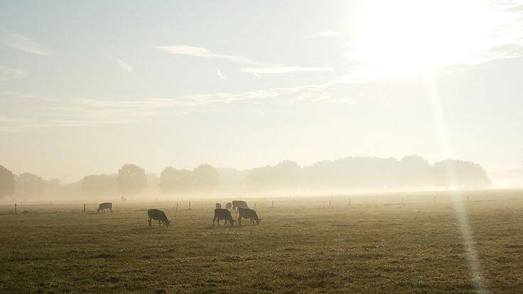 #cows #morningsun