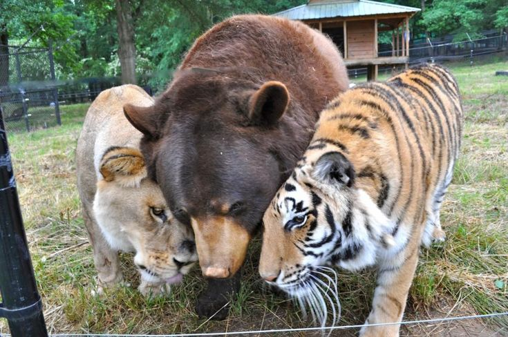 Don't tell Leo the lion, Baloo the bear and Shere Khan the tiger that they're different species. The three live together as best friends at an animal sanctuary in Georgia.