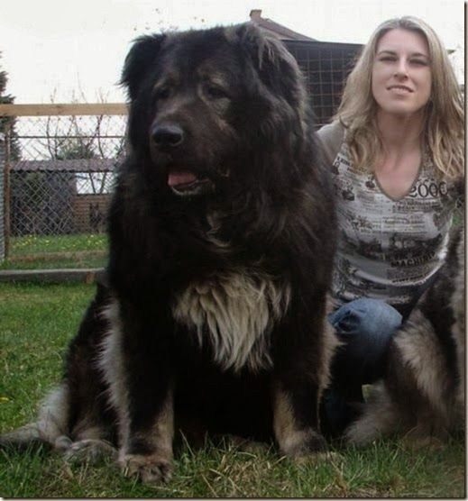 Big Caucasian Shepherd Dog among the top 10 biggest dog breeds. Click the pic for full list