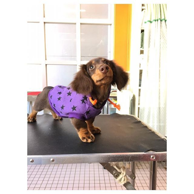 2016.11.29 Tue . . 今日の午前中 トリミング に行ってきた★ . . 今回の服は 紫!! . . 綺麗になったし 良い匂いだし 紫も意外に◎ . . #愛犬 #犬 #わんこ #dog #パピー #仔犬 #子犬 #カニンヘンダックス #ミニチュアダックス #ダックス #チョコレートタン #チョコタン #ワンコなしでは生きて行けません会 #いぬら部 #犬バカ部 #短足部 #パーカー #いぬぐみ #生後3ヶ月 #トリミング #記録