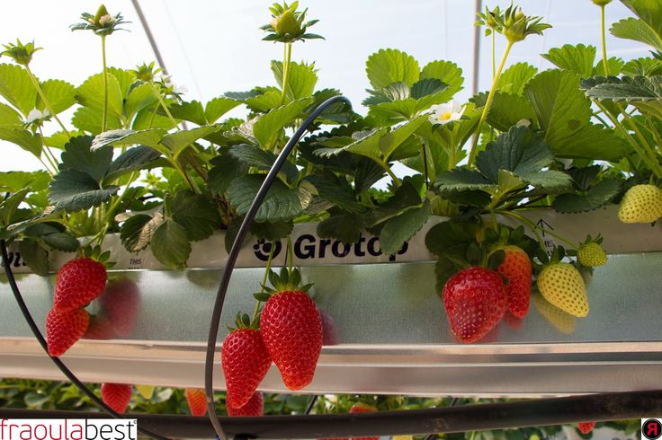 Crop Management | FraoulaBest© System (Hydroponic Strawberry)